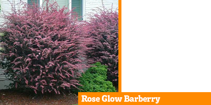 rose-glow-barberry