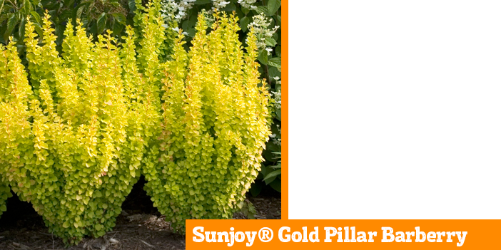 sunjoy-gold-pillar-barberry