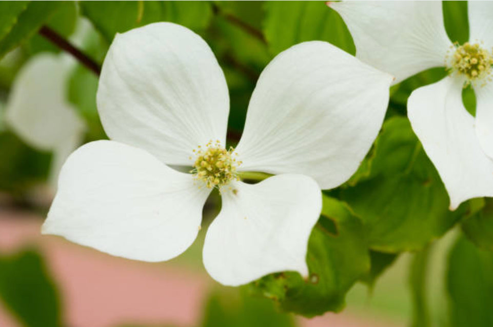 kousa-dogwood-care
