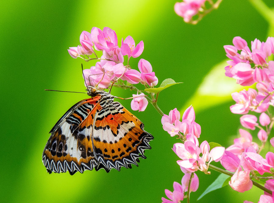 which flowering dwarf trees attract butterflies?