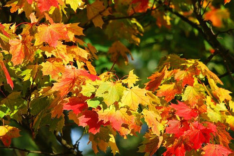 most colorful maple trees - autumn leaves
