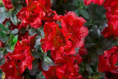 autumn fire encore azalea