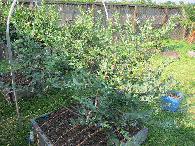 blueberry bushes in planters