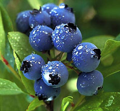 the-best-blueberry-bush-to-buy