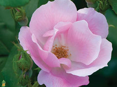 blush-knock-out-rose