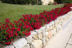 landscaping with drift roses - red drift rose border