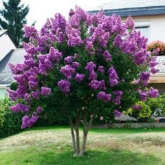 Purple Crape Myrtle Tree
