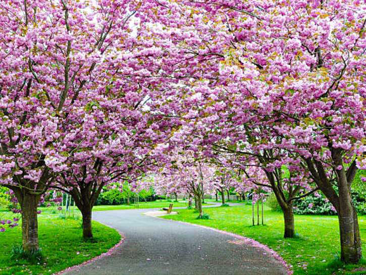 how to plant flowering cherry trees