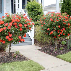 coral rose tree - trees that flower in summer