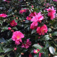 planting for beginners flowering plants - camellias