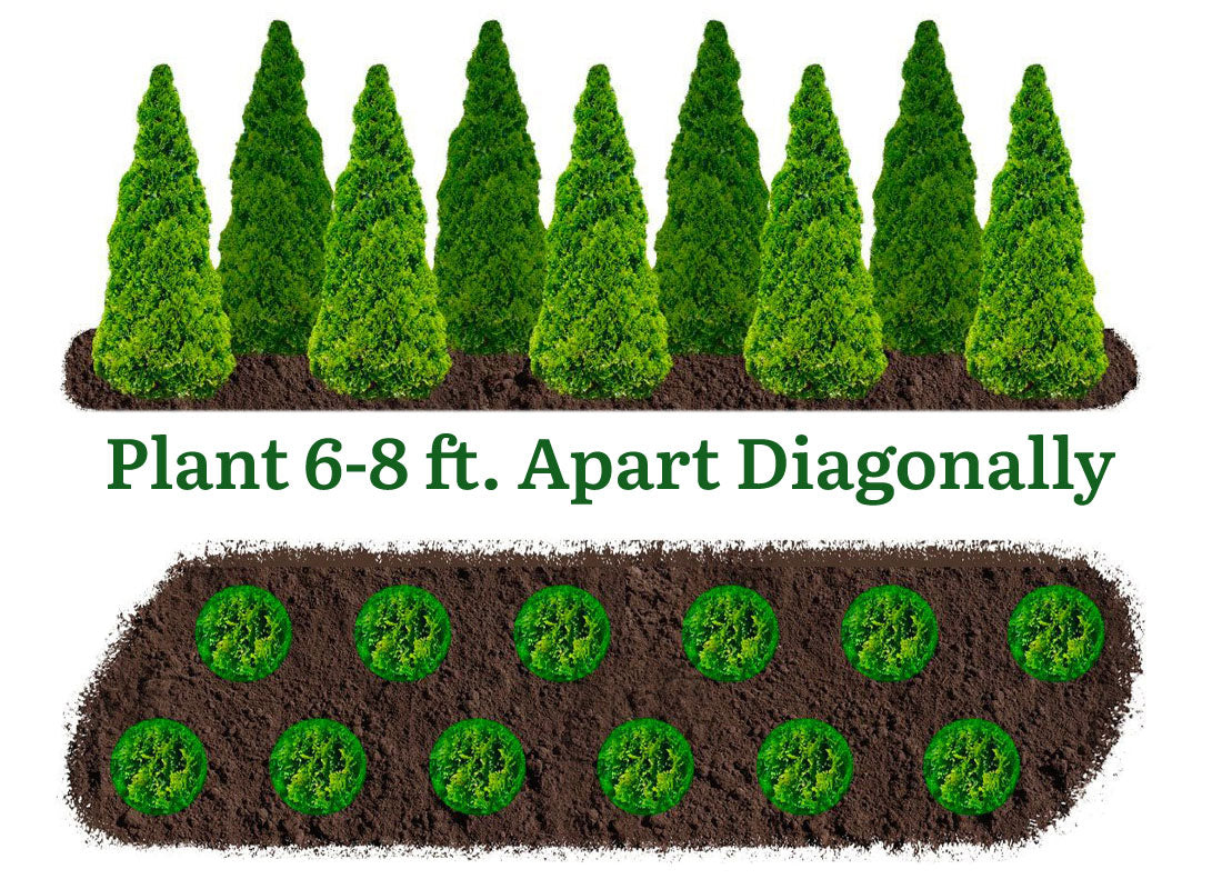 privacy hedges / diagonal planting