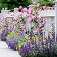 walkers low catmint - low maintenance ground cover plants