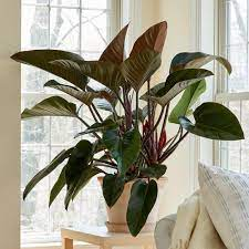 Philodendron Congo Rojo house plant