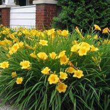 daylillies for around mailboxes