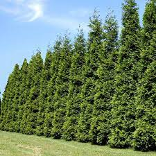Thuja Green Giant privacy trees