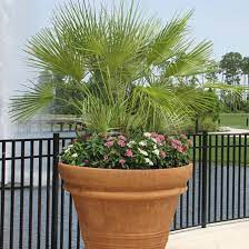 European Fan Palm. How To Plant Palm Trees
