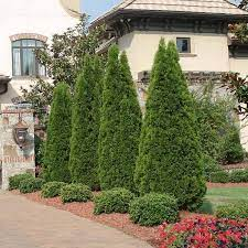 year round plants for landscaping. Emerald Green Arborvitae