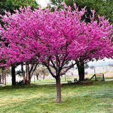 Eastern Redbud. How Fast Do Redbud Trees Grow