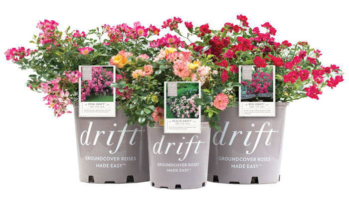 what are drift roses?