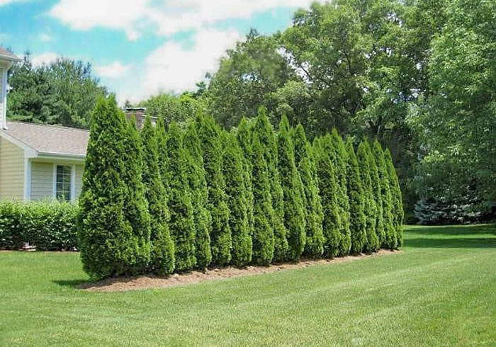 what are the best dwarf evergreen trees for privacy?