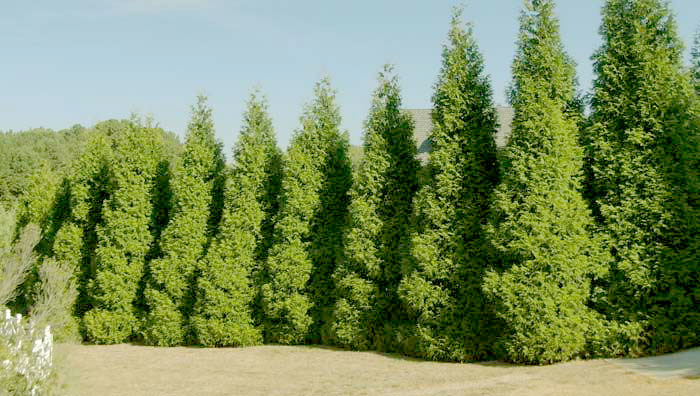 Fast-Growing evergreen trees for zone 5