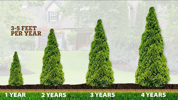 Fast-Growing evergreen trees for privacy