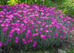 Firewitch Dianthus ground cover
