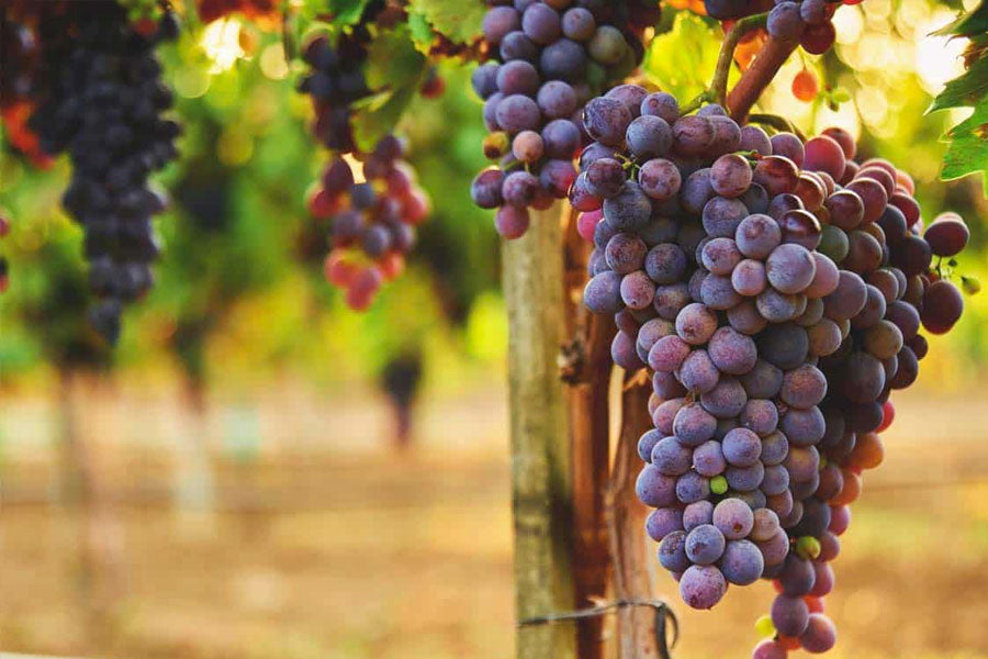 when to prune grape vines
