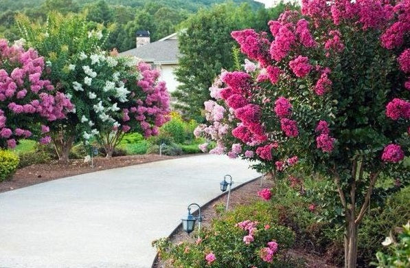 Pink Velour and other crape myrtles