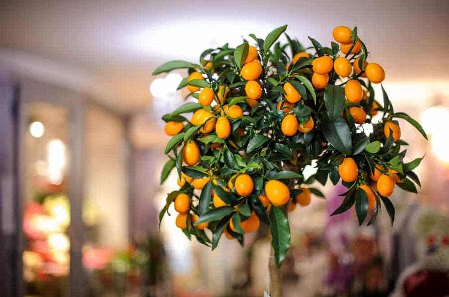 can dwarf fruit trees be grown indoors