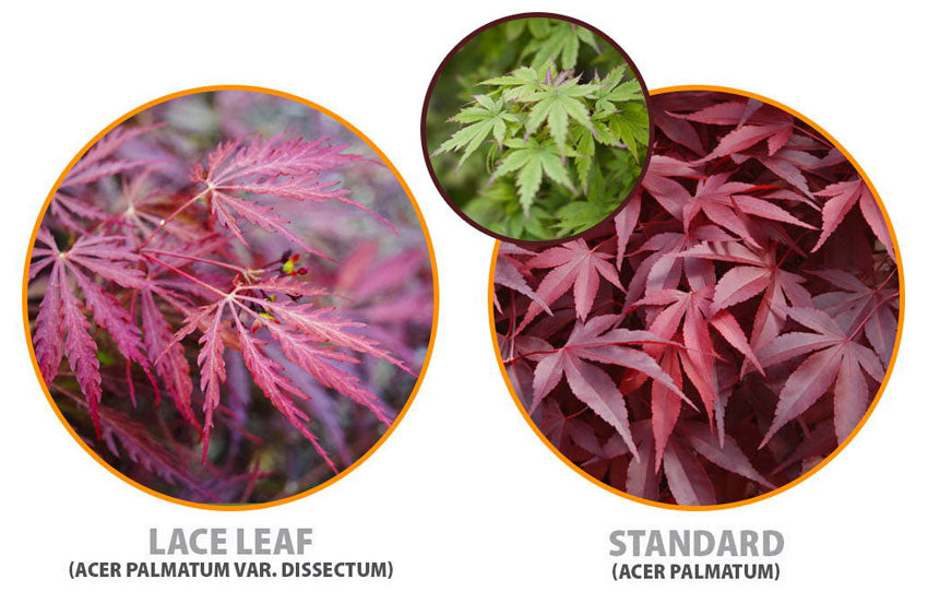 what japanese maple leaf types are there?
