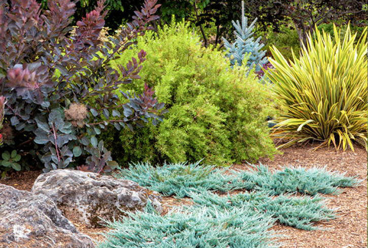 how to plant junipers