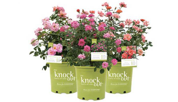 what are knock out roses?
