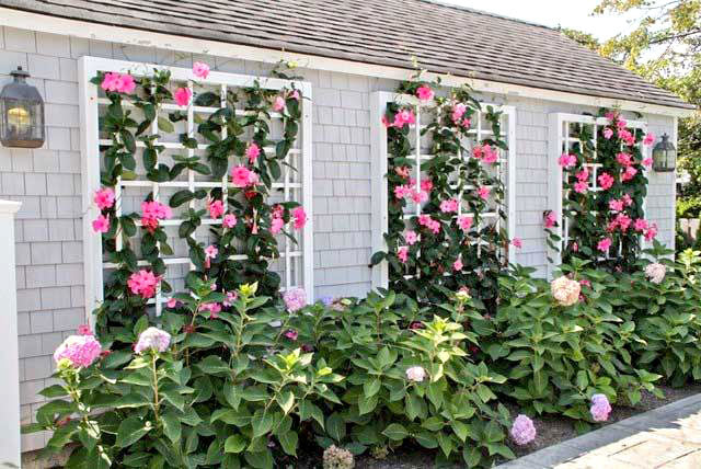 how to grow mandevilla vines in the landscape