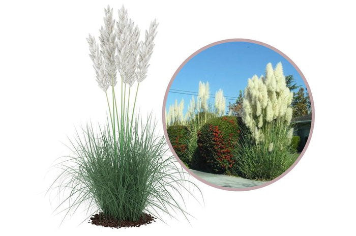 large ornamental grasses