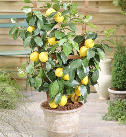 overwintered-citrus-tree