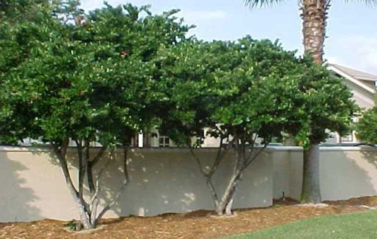 how to prune or train ligustrum into a tree?