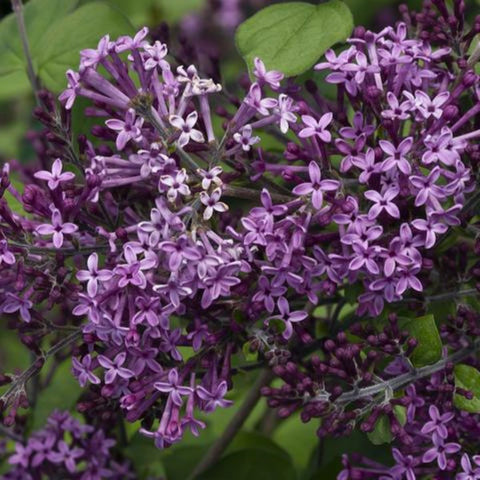 Bloomerang Dark Purple Lilacs - Reblooming Lilacs