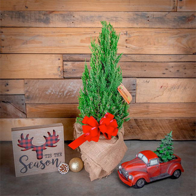 who is selling live christmas trees?