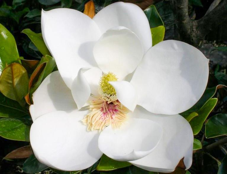 little-gem-magnolia
