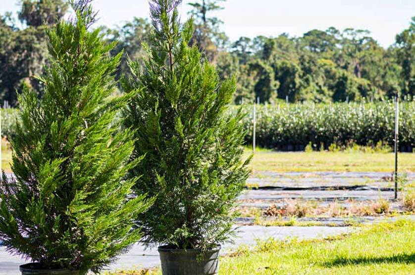 how are trees measured when sold?