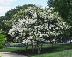 White Crape Myrtle Tree