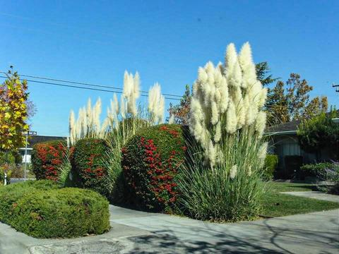 landscaping with grasses - pampas grass