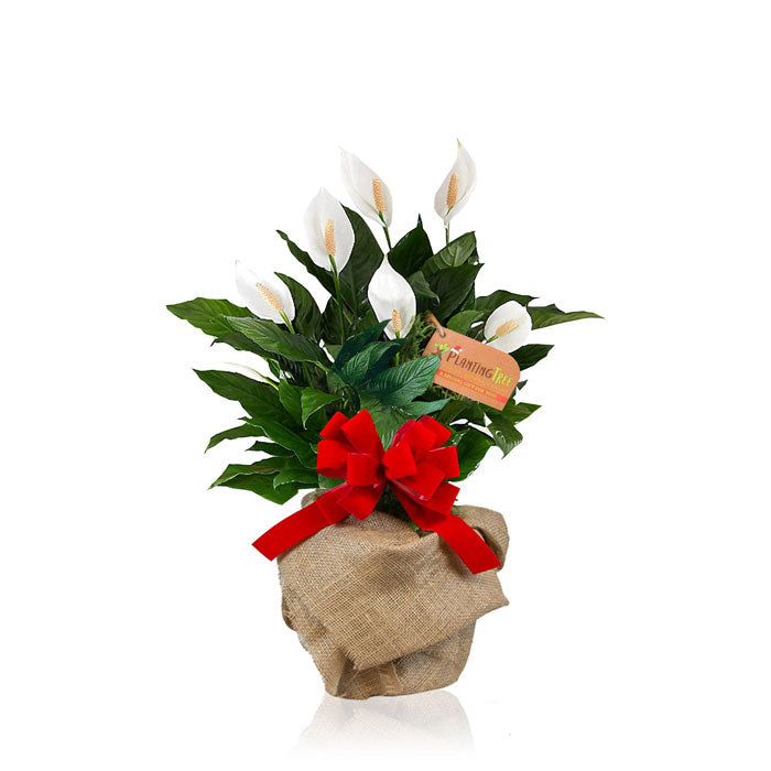 peace lily plant gift