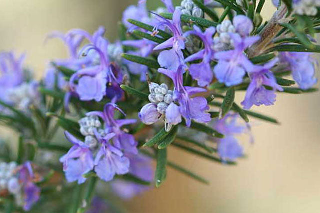 which perennials are deer resistant plants?