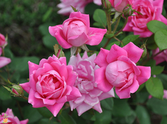pink-knock-out-rose