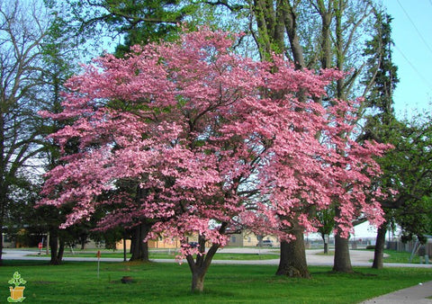 The Dogwood Tree An American Treasure Plantingtree Com