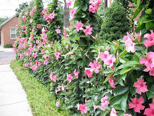 how to plant mandevilla in the ground