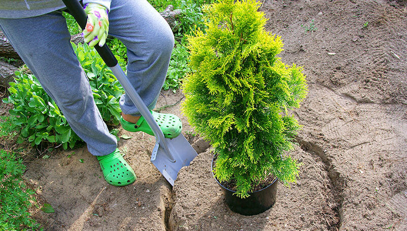 when to plant evergreen shrubs