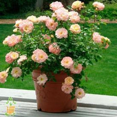 potted drift rose